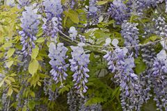 Wisteria sinensis blossom. Branch of Wisteria sinensis with leaves and lavender flowers royalty free stock images