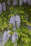 Wisteria sinensis blossom. Branch of Wisteria sinensis with leaves and lavender flowers royalty free stock image