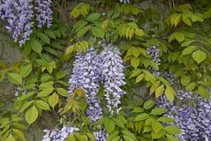 Wisteria sinensis blossom. Branch of Wisteria sinensis with leaves and lavender flowers stock images