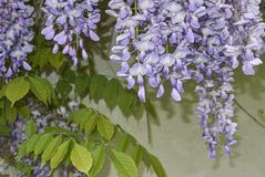 Wisteria sinensis blossom. Branch of Wisteria sinensis with leaves and lavender flowers stock photos