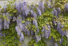 Wisteria sinensis blossom. Branch of Wisteria sinensis with leaves and lavender flowers royalty free stock photos