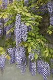 Wisteria sinensis blossom. Branch of Wisteria sinensis with leaves and lavender flowers stock photography