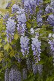 Wisteria sinensis blossom. Branch of Wisteria sinensis with leaves and lavender flowers royalty free stock photography