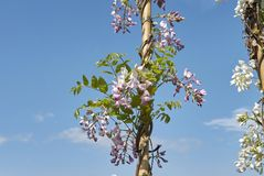 Wisteria sinensis blossom. Branch of Wisteria sinensis with purple blossom stock images