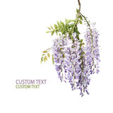Branch of Wisteria Tree Stock Images