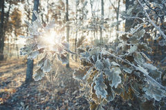 Branch wit oak leaves covered frost. Royalty Free Stock Photos