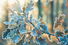 Branch wit oak leaves covered frost. Royalty Free Stock Image