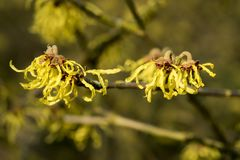 Hamamelis x intermedia `Arnold Promise` Stock Photography