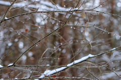Free Branch With Frozen Drops Royalty Free Stock Photography - 81122427