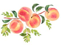 Free Branch With Peaches. Watercolor Illustration Royalty Free Stock Photo - 101075165