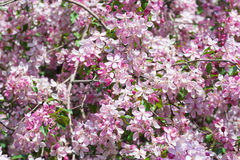 Branch With Pink Blossoms. Royalty Free Stock Image