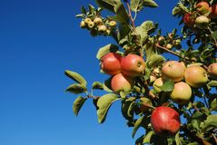 Branch With Red Apples Royalty Free Stock Photography