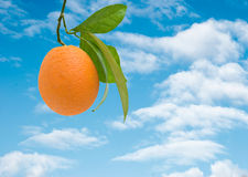 Branch With Ripe Orange Royalty Free Stock Images