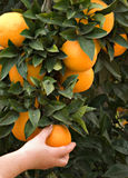 Branch With Ripe Oranges Stock Photos