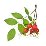 Branch With Rose Hips Royalty Free Stock Photo