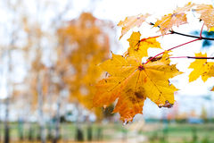 Branch with withered yellow maple leaf. Royalty Free Stock Photos