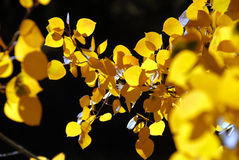 Branch of Yellow Aspen Leaves Royalty Free Stock Photo