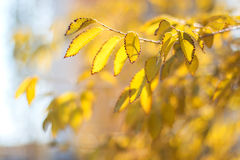 Branch with yellow autumn leaves in sunlight. Beautiful autumn leaves. The yellow foliage. Soft focus.elm tree royalty free stock photos