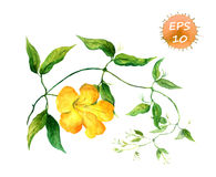 Branch of yellow bindweed. Watercolor  vector Royalty Free Stock Photography