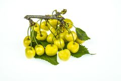 Branch with of yellow cherries isolated on white background. Bunch of yellow berries cherry close -up on a white background royalty free stock photography