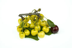Branch with of yellow cherries isolated on white background. Cherry yellow and dark-red isolated on white background royalty free stock photo