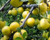 Branch with yellow cherry plum close up Royalty Free Stock Photography