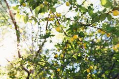 Branch of yellow cherry plum in orchard on sunlight background. Healthy organic eating concept. Yellow cherry plum growing stock photography