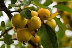 Branch of yellow crab apples Stock Images