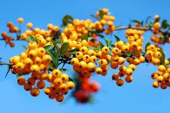 Branch of of yellow firethorn berries Royalty Free Stock Image