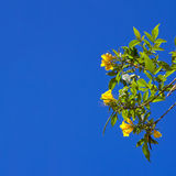 Branch with yellow flowers Royalty Free Stock Images