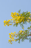 Branch with yellow flowers stock images