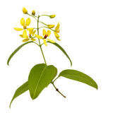 Branch of yellow flowers isolated Stock Photo