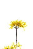 Branch of yellow flowers on white Stock Photo