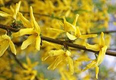 Branch of yellow forsythia shrub Stock Image