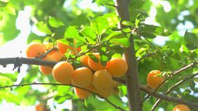 Branch with yellow fruits. stock video
