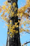 The branch of yellow Japanese Leaf germinate from the trunk of the tree with blue sky background in the garden. The leaves change color from green to yellow stock image
