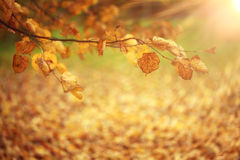 Branch with yellow leaves autmn Stock Images