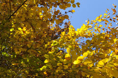Branch with yellow leaves Royalty Free Stock Photography