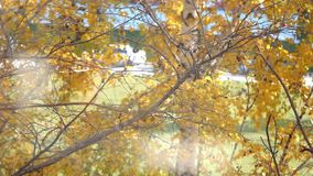 Branch with yellow leaves. Autumn concept. Change focus background. HD. 1920x1080 stock video footage