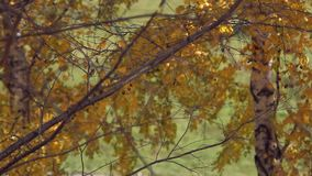 Branch with yellow leaves. Autumn concept stock footage
