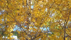 Branch with yellow leaves. Autumn concept stock video