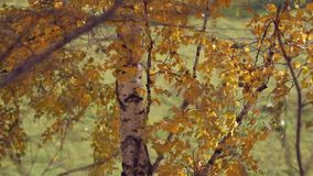 Branch with yellow leaves. Autumn concept. Change focus background. HD. 1920x1080 stock video