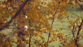 Branch with yellow leaves. Autumn concept. Change focus background. HD. 1920x1080 stock footage