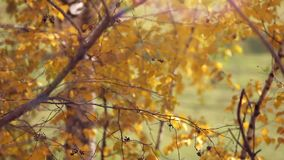 Branch with yellow leaves. Autumn concept stock video footage