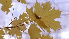 A branch of yellow leaves. On the trunk of the tree stock video