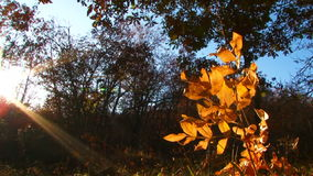 Branch With Yellow Leaves  Illuminated With The stock video footage