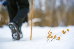 Branch with yellow leaves in the snow. A man with a cane walking through the forest Stock Image