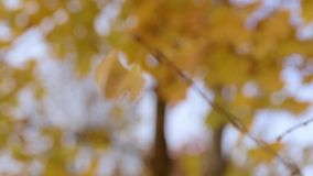A branch of yellow leaves. On the trunk of the tree stock video footage