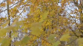 A branch of yellow leaves. On the trunk of the tree stock footage