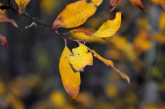 Branch with yellow leaves of willows. Autumn collection. Two leaves eaten by birds or insects. Royalty Free Stock Image